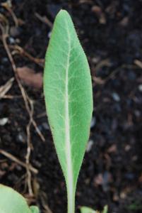 2a Single leaf of M. 'Crarae' showing the white mid-rib.