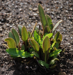 Young leaves showing a </br> brownish tinge
